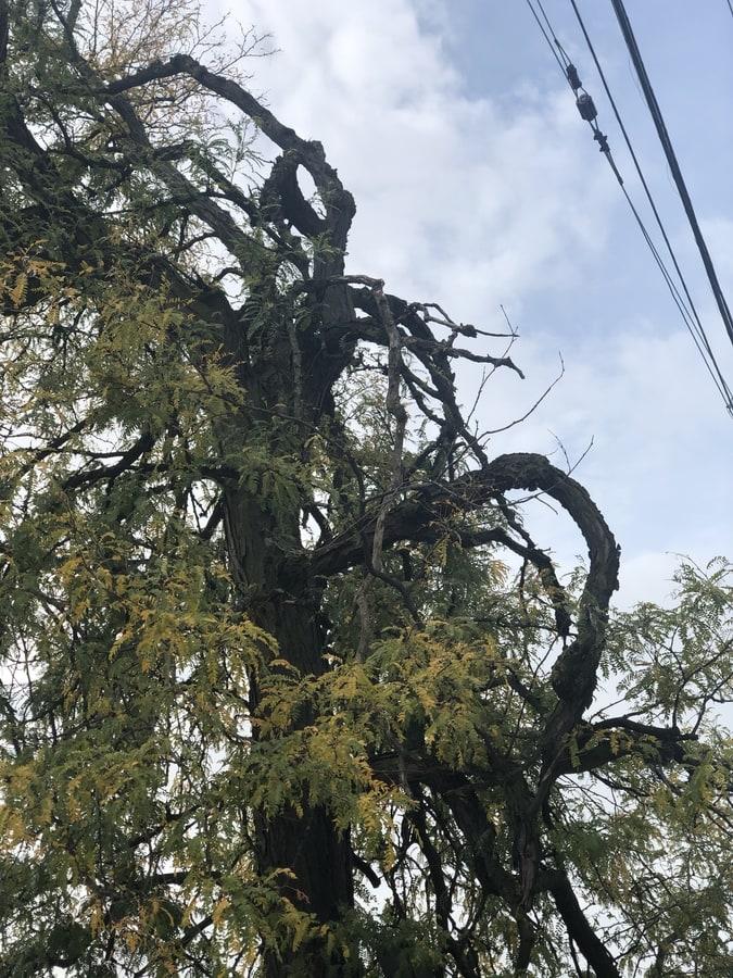 Huntley_ Tree under electric line